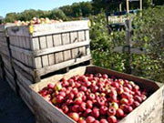 Apple harvesting at Jaswell Farm