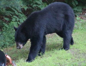 Black bear seen in Smithfield on 6-29-2013
